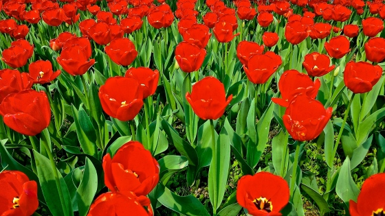 Beautiful tulips in park