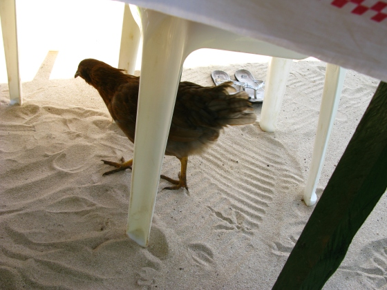 A chicken joined us for breakfast!