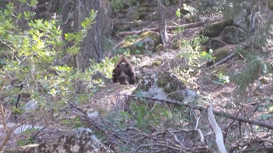Yosemite bear!