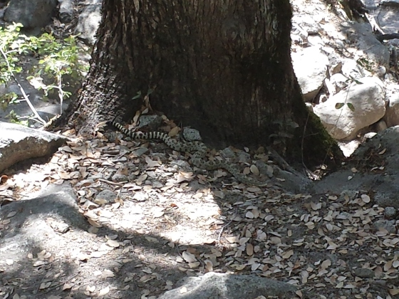 The Yosemite Falls Trail is so awesome that this rattlesnake is trying to climb it!