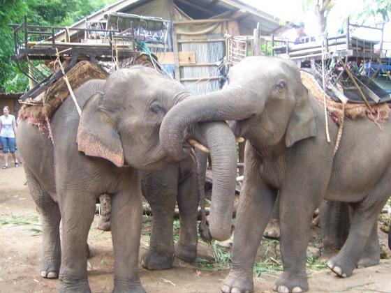 Woke up to elephant noises. Our elephants arrived to take us back to Chiang Rai.